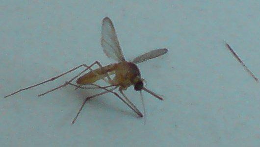 la fu-zanzara